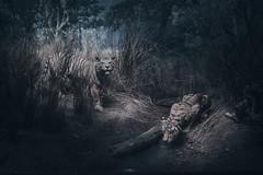 Tyger, Tyger (Moogul) Tags: nikon z6 2470 f4 slens fx 2470mm mirrorless newyork city manhattan tiger museum americanmuseumofnaturalhistory american natural history