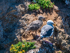 The Chick and the Chicken (mutovkin) Tags: g9 lumix lumixg9 northerncalifornia panasonic panasonicg9 pointlobosstatenaturalreserve carmel california unitedstatesofamerica