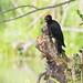 Pic noir. (Ferdinand23) Tags: oiseaux picnoir pics
