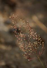Graminée dorée (danielled61) Tags: graminée dorée or champs été juillet délicat macro chemin douceur
