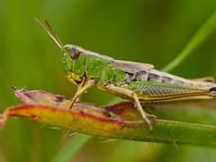 Grashüpfer, grasshopper (Klaus Lechten) Tags: grashüpfer feldheuschrecke heuschrecke insekt wiese wald springen srung natur nature tier makro sigma105 olympus klauslechten grün braun rot bokeh grasshopper locust hopper