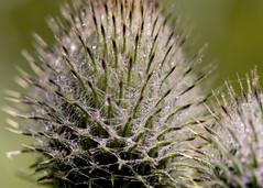thistle seed  head (alderson.yvonne) Tags: macromonday patternsinnature thistle head rain sharp nikond7200