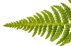 Fern (FotoCorn) Tags: patternsinnature nature leaf macromonday macromondays garden plant macro fern feather isolated hmm2019 green hmm happymacromondays flora happymacromonday white
