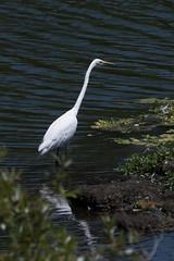DSC_7635.jpg Great Egret, Pinto Lake (ldjaffe) Tags: greategret pintolake