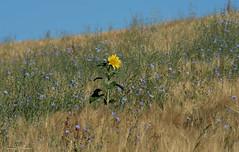 Tournesolitaire (Francis Fantoni) Tags: nikon d810 fleur flower campagne countryside jaune yellow plante plant nature