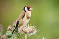 Goldfinch. (RICHARD STONE NATURE LAND) Tags: somerset levels catcott nikon d500 500f4 goldfinch birds colours light evening hide