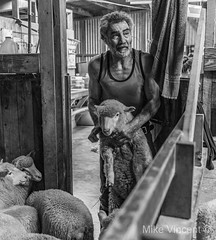 The shearer (Hickenbothom) Tags: shearer sheep new zealand man work shearing highland station