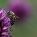 Honigsüß mit Stachel (Xanthippe2017) Tags: macro