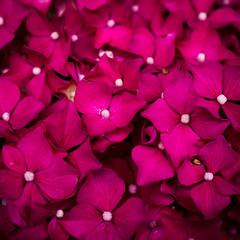 nature patterned (marinachi) Tags: macromondays patternsinnature macro closeup pink plant hortensia flowers