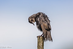 Well that was an exhausting bath! (Linda Martin Photography) Tags: dorset wildlife nature bird starling ferndown sturnusvulgaris uk juvenile naturethroughthelens coth alittlebeauty specanimal coth5 ngc npc