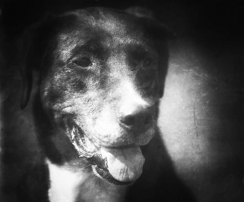 Collie-Labrador-Boxer Mischling