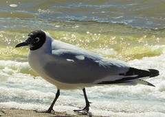 Life Bird: Andean Gull (Ruby 2417) Tags: gull bird wildlife nature life lifer machuca bog wetlands water mountain andes chile