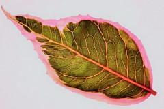 Leaf pattern. (Les Fisher) Tags: macromondays patternsinnature leaf fuchsia
