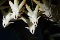 shooting star (Elisabeth patchwork) Tags: shootingstar macromondays patternsinnature stars flower hoya 20190715 hoyamultiflora wachsblume