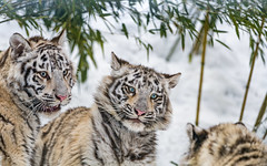 The three tigresses in the snow (Tambako the Jaguar) Tags: tiger big wild cat bengal white female tigress three together sisters siblings young cub cute portrait face playing fun bamboo snow winter cold siky park zoo crémines switzerland nikon d5