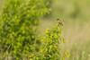 European Stonechat (Saxicola rubicola) Juodagalvė kiauliukė