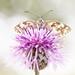What? (Anita van Rennes) Tags: marbled white dambordje vlinder butterfly melanargia galathea