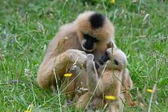 Northern White-cheeked Gibbon & Young (Truus & Zoo) Tags: dierenrijk nuenen netherlands nederland animals zoo dierentuin witwanggibbon nomascusleucogenys northernwhitecheekedgibbon