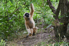 Young Northern White-cheeked Gibbon (Truus & Zoo) Tags: dierenrijk nuenen netherlands nederland animals zoo dierentuin witwanggibbon nomascusleucogenys northernwhitecheekedgibbon