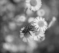 IMG_6176 (gidlark) Tags: bw blackandwhite monomad monochrome flora plant flower flowers insect fly diptera