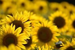 Les tournesols (2) (Excalibur67) Tags: nikon d750 sigma globalvision contemporary 100400f563dgoshsmc flowers fleurs tournesol sunflower nature jaune yellow