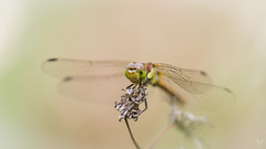 Dragonfly (Jongejan) Tags: dragonfly insect animal wildlife macro bokeh outdoor outside grass