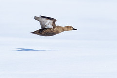 ᕿᖓᓕᒃ | Mitiinnaq | Female King Eider Flying | Somateria spectabilis (Paul B Jones) Tags: floeedge ᕿᖓᓕᒃ mitiinnaq female kingeider somateriaspectabilis pondinlet nunavut arctic canada nature wildlife bird canon eos1dxmarkii ef600mmf4lisiiiusm 14xiii flying flight waterfowl duck