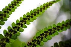 Bracken (Bohumil Boudník) Tags: macromondays patternsinnature sony a7 nature bracken green reverse macro