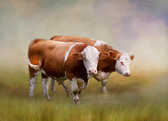 Couple (Birgitta Sjostedt) Tags: texture field animal cow cattle scene bull nature