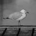 Silver Gull (N.E Photography) Tags: