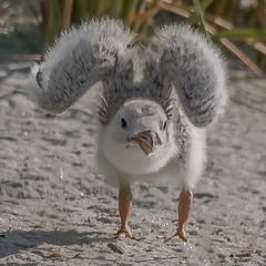 Black Skimmer chick (Kevin E Fox) Tags: blackskimmer rynchopsniger chick nassaucounty nickersonbeach lidobeach longisland newyork ny bird birdwatching birding birdphotography birdinflight birds nature nikond500 nikon sigma150600sport sigma shorebirds shorebird beach sand colony