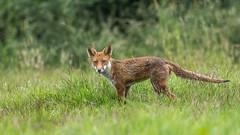 Fox (Glenn.B) Tags: nature wildlife buckinghamshire grassland animal mammal fox redfox vulpesvulpes britishfox