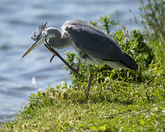 Scratching an itch? (JamesMarks) Tags: birds wildlife tringreservoirs nature greyheron
