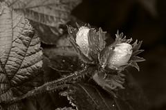 Hazelnuts (smir_001) Tags: hazel corylusavellane betulaceae corylus avellane shrub tree smalltree green nuts hazelnuts deciduous britishtrees plants flora bath bathford somerset england uk bathnes brownsfolly naturereserve avonwildlifetrust ukwildlifetrusts droplets water waterdroplets morningdew dew july summer canoneos6dmarkii european closeup macro bw blackandwhite monotone monochrome