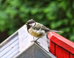 Only on one leg (ruedigerdr49) Tags: bird animal tit nature outdoor