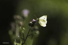 Piéride de la rave (vyclem78) Tags: papillon insecte piéridedelarave macro été macrophotographie sigma180macro proxi eureetloir nikond750 yvetteclemenson