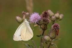 Papillon (clamar18) Tags: papilon pieride mérysurcher vierzon insecte butterffly blanc