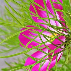 Patterns in Nature HMM (cheltenhamgirl (Yvonne)) Tags: greenery leaves pink cosmos patternsinnature macromonday