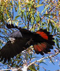 Red Tailed Black Cockatoo-3 (blair.levia) Tags: birds nikon australia australianbirds regionalpark nativefauna lakejoondalup park trees lake nature water flying wings branch wildlife flight tamron westernaustralia avian bushland nativebirds westernaustralianbirds