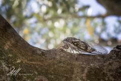 Cigale occitane (Jeff-Photo) Tags: faune pleinair provencealpescotedazur animal arbre cigale france garigue insecte landscape nature paysage tree