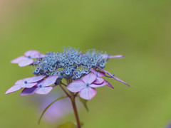 Hydrangea (upjohn_freak) Tags: hydrangea flower fleur fiore blue blu