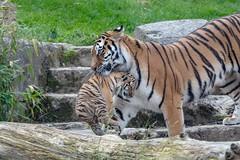 Hänge Tigerchen (Ria Trouw) Tags: tiger tiere tierkinder erlebniszoohannover raubkatzen raubtiere