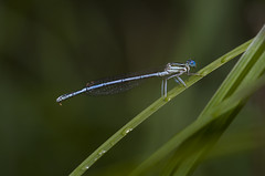 Libelle (Nikon_L.) Tags: libelle makro macro dragonfly blau insekt insect blue