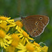 Ringlet (Aphantopus hyperantus) (Eyeing moths, mostly) Tags: butterfly d7500