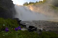 Tännforsen, Jämtland, Sweden (Tor Langli) Tags: blommor flower waterfall water vatten fors sweden sverige jamtland jämtland tännforsen