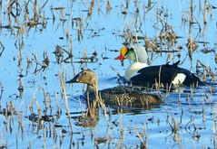King Eider (Somateria spectabilis) (Francisco Piedrahita) Tags: aves birds ducks patos alaska kingeider somateriaspectabilis