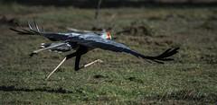 Take off! (momathew) Tags: secretarybird sagittariusserpentarius birdofprey raptor large avian kenya safari masaimara terrestrial