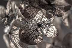..patterns of life.. (dawn.tranter) Tags: dawntranter macromondays hmm patternsinnature petals dried nature