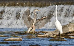 Check This Out (Photos By JM) Tags: humberriver herons birds nature egrets