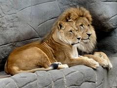 Tembesi und Nawiri (BrigitteE1) Tags: löwe löwen lion tierparkhagenbeck germany tembesi nawiri animal zoo portrait cat cats lions specanimal